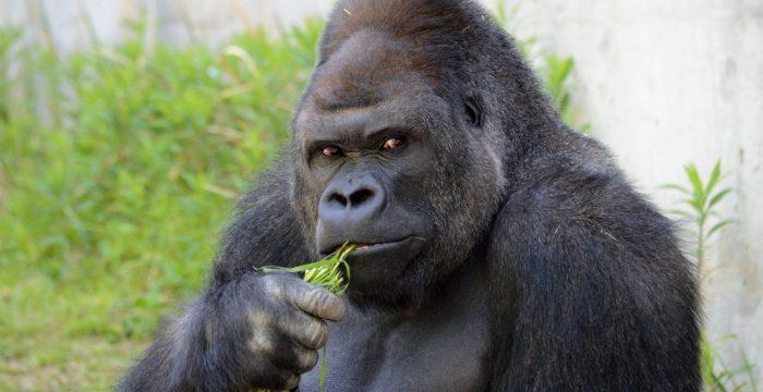 Gorilas em cativeiro criam dilema para primatologistas