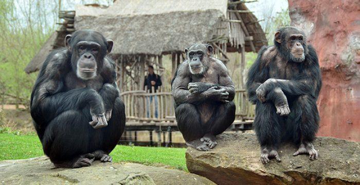 Chimpanzés preferem cooperar a competir, revela estudo