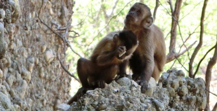 Macacos são capazes de buscar informações em sua memória, como humanos