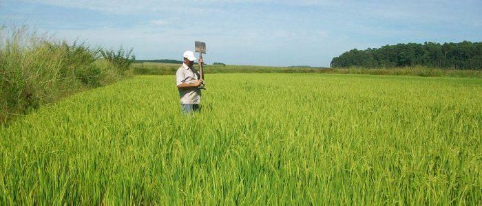 Brasil, quem diria, também produz arroz sem veneno