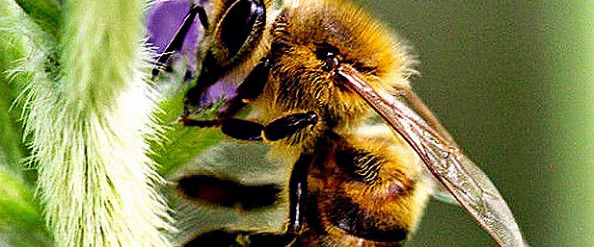 Apicultores brasileiros encontram meio bilhão de abelhas mortas em três meses